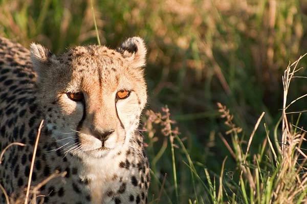 Cheetah - safari fotográfico en Masai Mara - Kenia